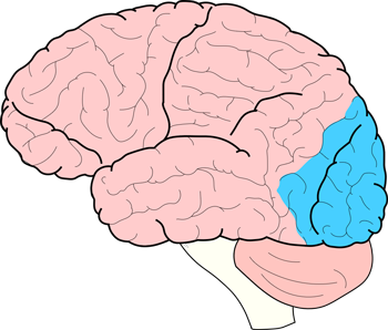 Brain Facts: The Four Lobes