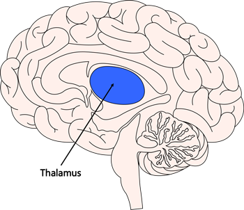 Brain Facts: Important Parts of the Brain